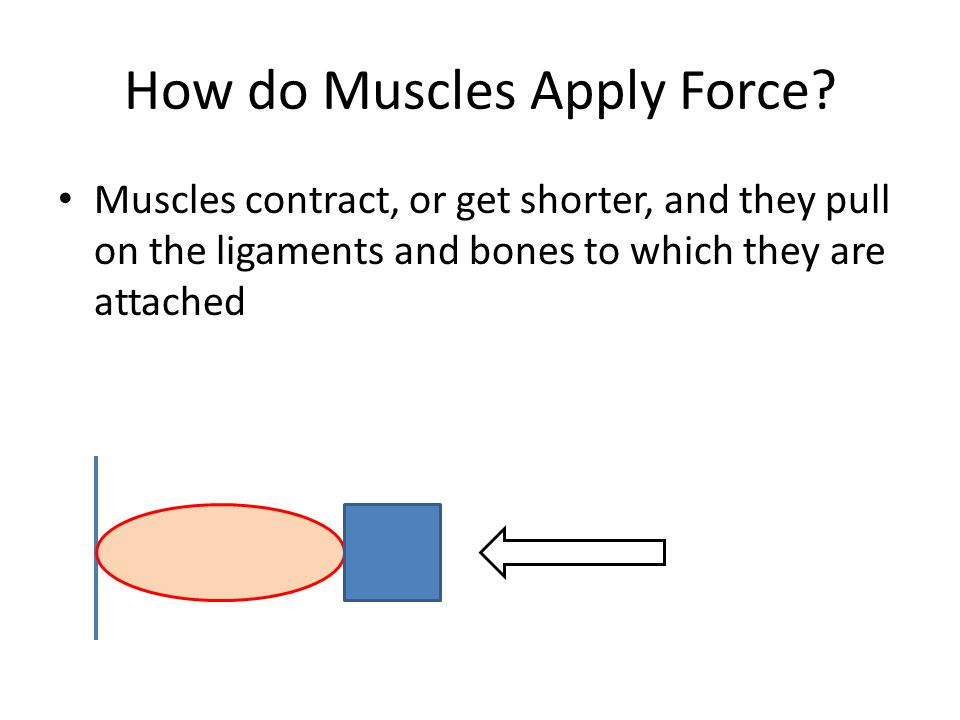 How do Muscles Apply Force? Muscles contract, or get shorter, and they pull on the ligaments and bones to which they are attached