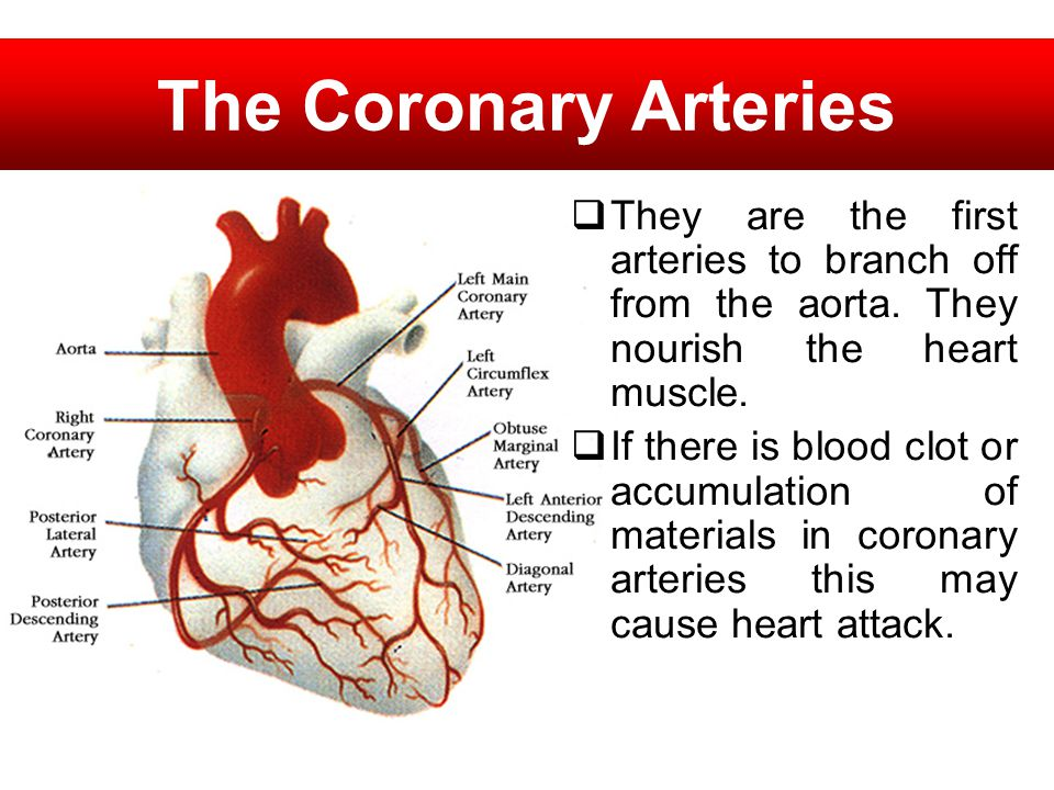 The Coronary Arteries They are the first arteries to branch off from the aorta. They nourish the heart muscle. If there is blood clot or accumulation
