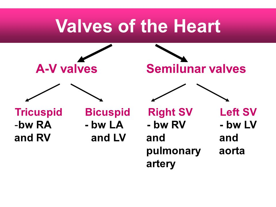 Valves of the Heart A-V valves Semilunar valves Tricuspid Bicuspid Right SV Left SV -bw RA - bw LA - bw RV - bw LV and RVand LVand and pulmonary aorta