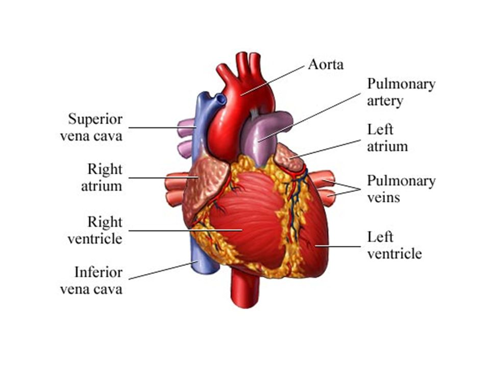 Heart is made up of the cardiac muscle.