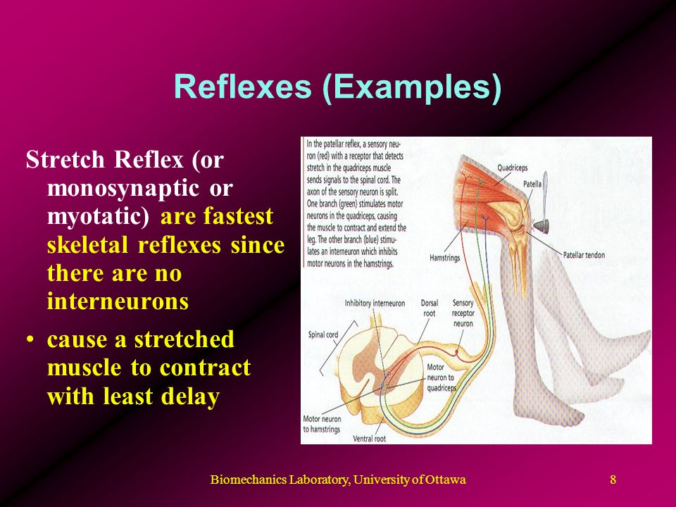 Biomechanics Laboratory, University of Ottawa9 Reflexes (Examples) Flexion Reflex (or nociceptive withdrawal reflex) use interneurons and act to cause flexor muscles to contract after a painful or hot stimulus