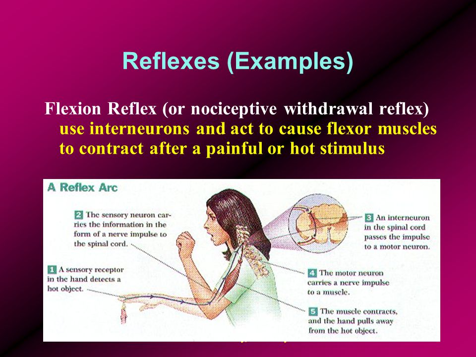 Biomechanics Laboratory, University of Ottawa10 Reflexes (Examples) Reciprocal Innervation – when agonists flexors are excited, antagonist ipsilateral extensors are relaxed Crossed Extensor Reflex – excitation of contralateral extensors after ipsilateral flexors have contracted due to a withdrawal reflex Tonic Neck Reflex – flexion of neck facilitates flexor muscles of extremities; neck extension acts vice versa Long-loop Reflex (or functional stretch reflex, transcortical reflex) – acts like the stretch reflex but takes longer and is trainable.