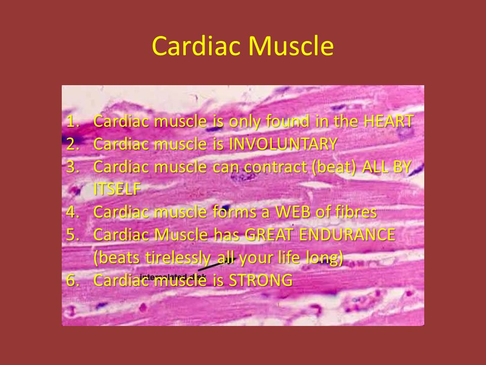 Cardiac Muscle 1.Cardiac muscle is only found in the HEART 2.Cardiac muscle is INVOLUNTARY 3.Cardiac muscle can contract (beat) ALL BY ITSELF 4.Cardiac muscle forms a WEB of fibres 5.Cardiac Muscle has GREAT ENDURANCE (beats tirelessly all your life long) 6.Cardiac muscle is STRONG