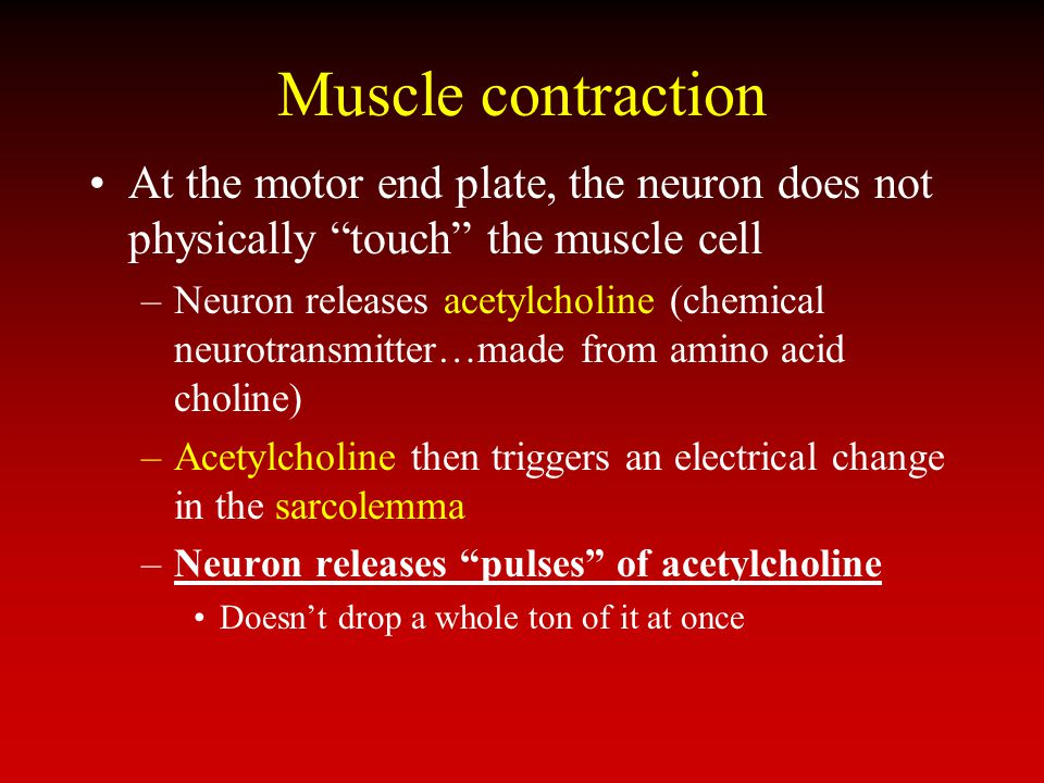 Muscle contraction At the motor end plate, the neuron does not physically touch the muscle cell –Neuron releases acetylcholine (chemical neurotransmit