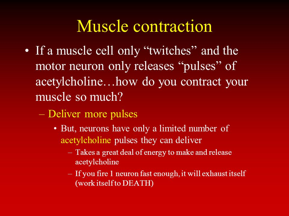 Muscle contraction If a muscle cell only twitches and the motor neuron only releases pulses of acetylcholine…how do you contract your muscle so much?