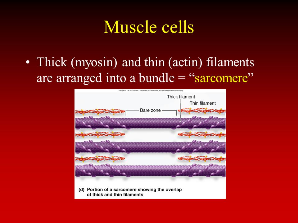 Muscle cells Thick (myosin) and thin (actin) filaments are arranged into a bundle = sarcomere