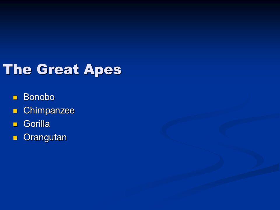 The Great Apes Bonobo Bonobo Chimpanzee Chimpanzee Gorilla Gorilla Orangutan Orangutan