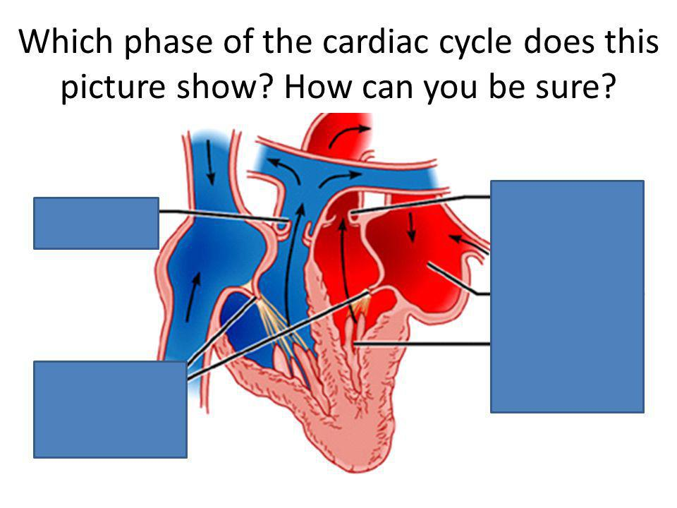 Which phase of the cardiac cycle does this picture show? How can you be sure?