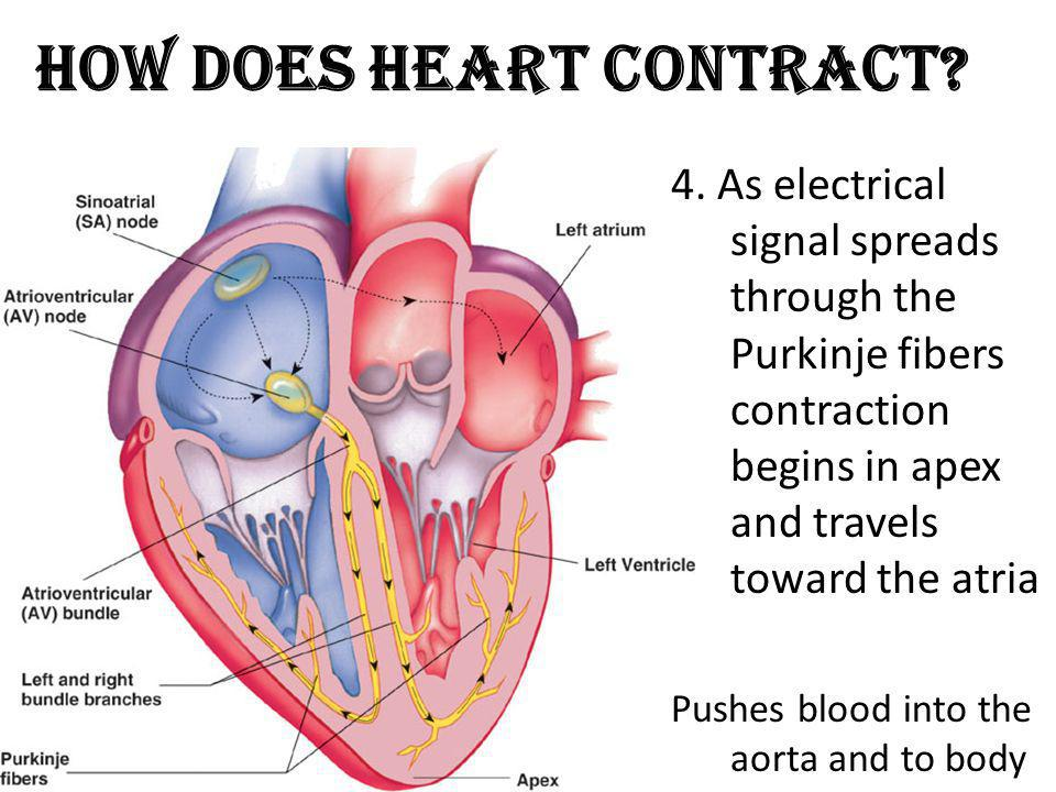 How Does Heart Contract? 4. As electrical signal spreads through the Purkinje fibers contraction begins in apex and travels toward the atria Pushes bl
