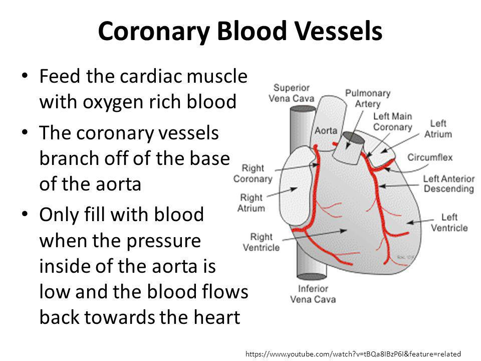 Coronary Blood Vessels Feed the cardiac muscle with oxygen rich blood The coronary vessels branch off of the base of the aorta Only fill with blood wh