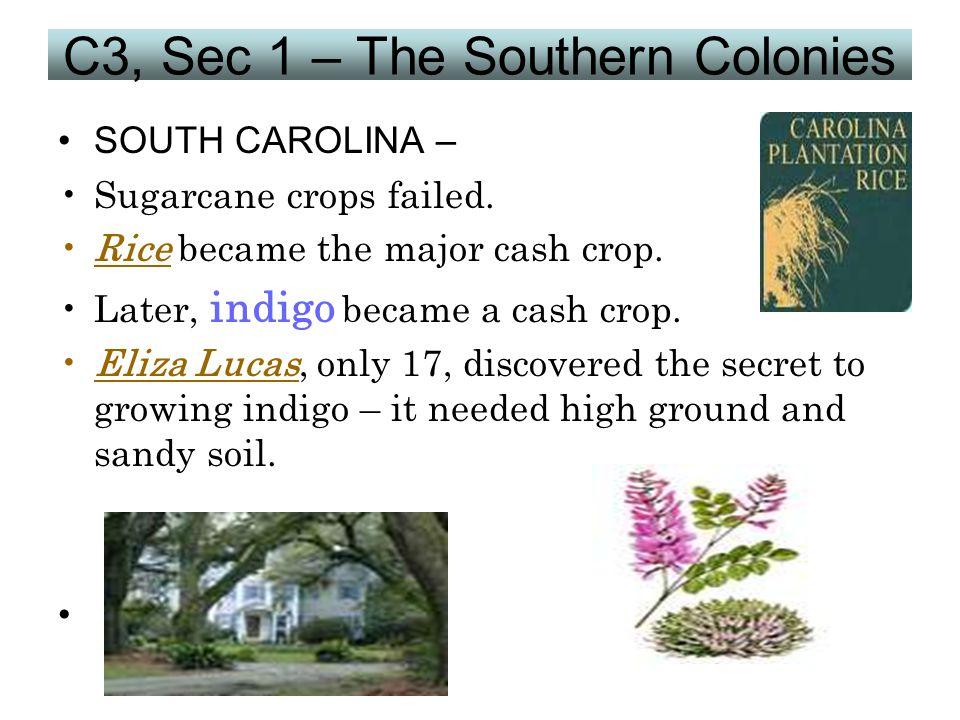 C3, Sec 1 – The Southern Colonies SOUTH CAROLINA – Sugarcane crops failed. Rice became the major cash crop. Later, indigo became a cash crop. Eliza Lu