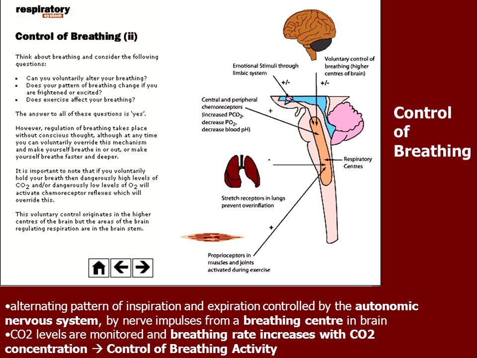 Control of Breathing alternating pattern of inspiration and expiration controlled by the autonomic nervous system, by nerve impulses from a breathing