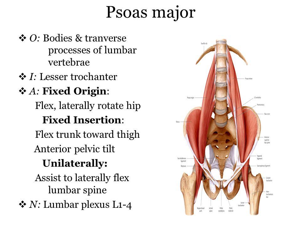 Psoas major O: Bodies & tranverse processes of lumbar vertebrae I: Lesser trochanter A: Fixed Origin: Flex, laterally rotate hip Fixed Insertion: Flex
