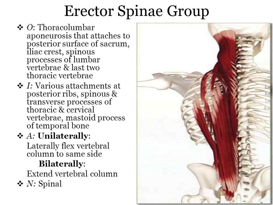Erector Spinae Group O: Thoracolumbar aponeurosis that attaches to posterior surface of sacrum, iliac crest, spinous processes of lumbar vertebrae & l