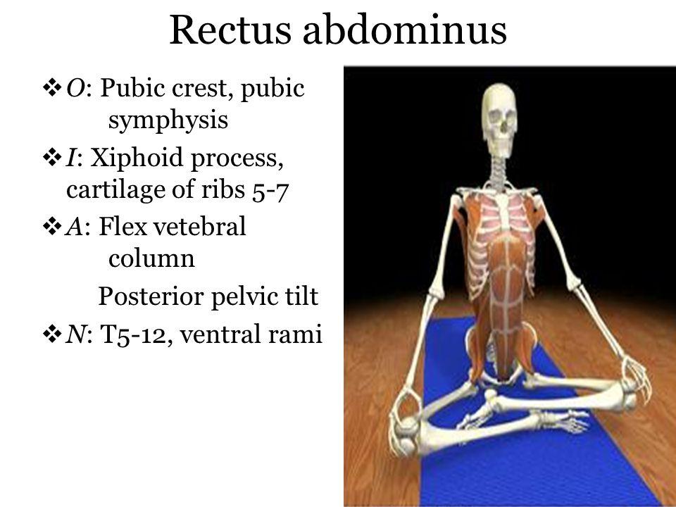 Rectus abdominus O: Pubic crest, pubic symphysis I: Xiphoid process, cartilage of ribs 5-7 A: Flex vetebral column Posterior pelvic tilt N: T5-12, ven