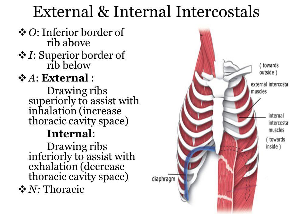 External & Internal Intercostals O: Inferior border of rib above I: Superior border of rib below A: External : Drawing ribs superiorly to assist with