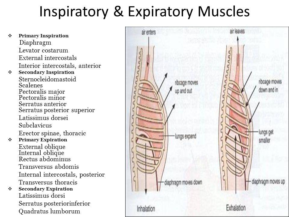 Inspiratory & Expiratory Muscles Primary Inspiration Diaphragm Levator costarum External intercostals Interior intercostals, anterior Secondary Inspir