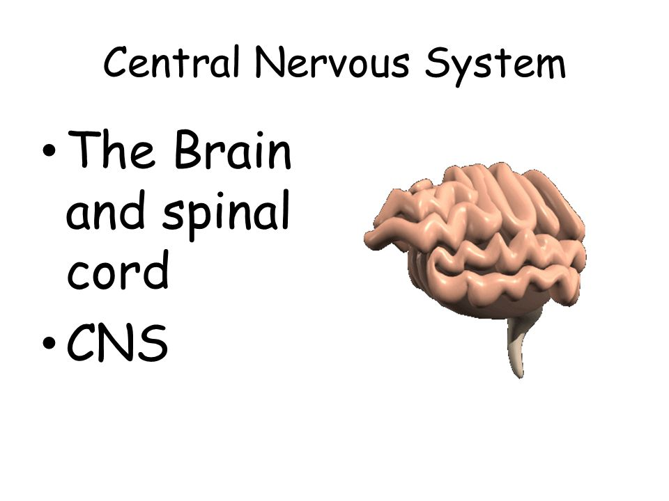 Central Nervous System The Brain and spinal cord CNS