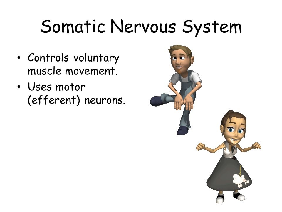 Somatic Nervous System Controls voluntary muscle movement. Uses motor (efferent) neurons.