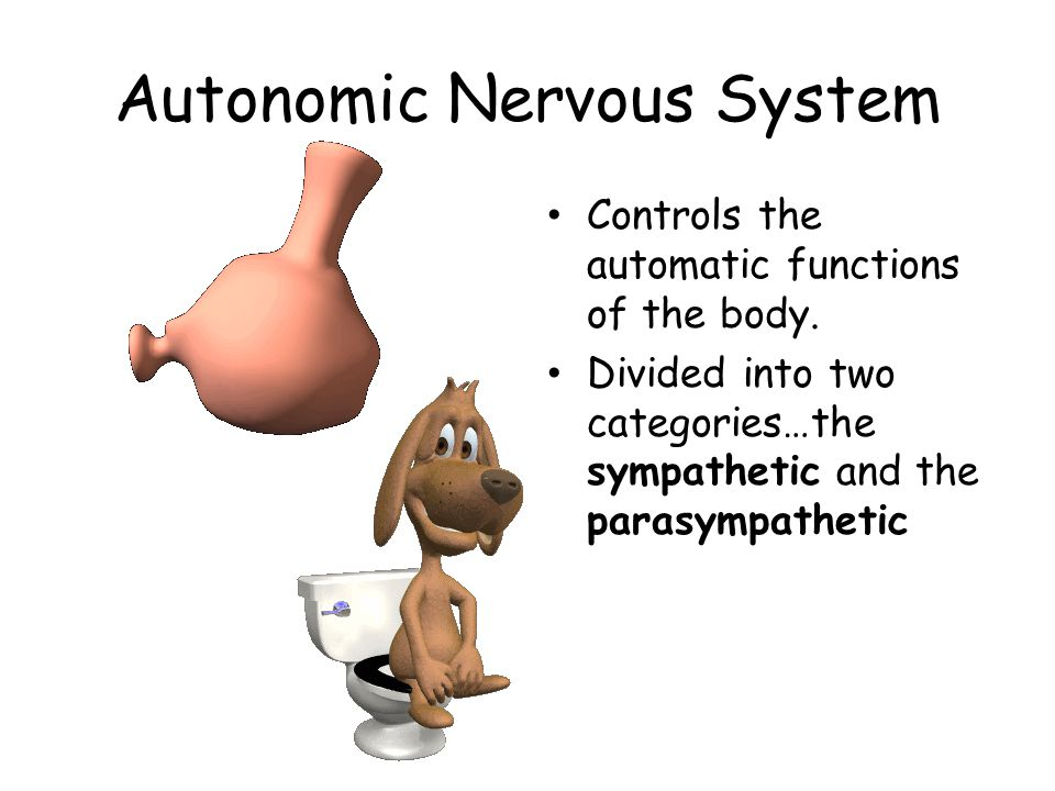 Autonomic Nervous System Controls the automatic functions of the body.