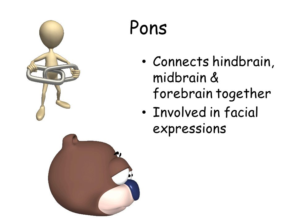 Pons Connects hindbrain, midbrain & forebrain together Involved in facial expressions
