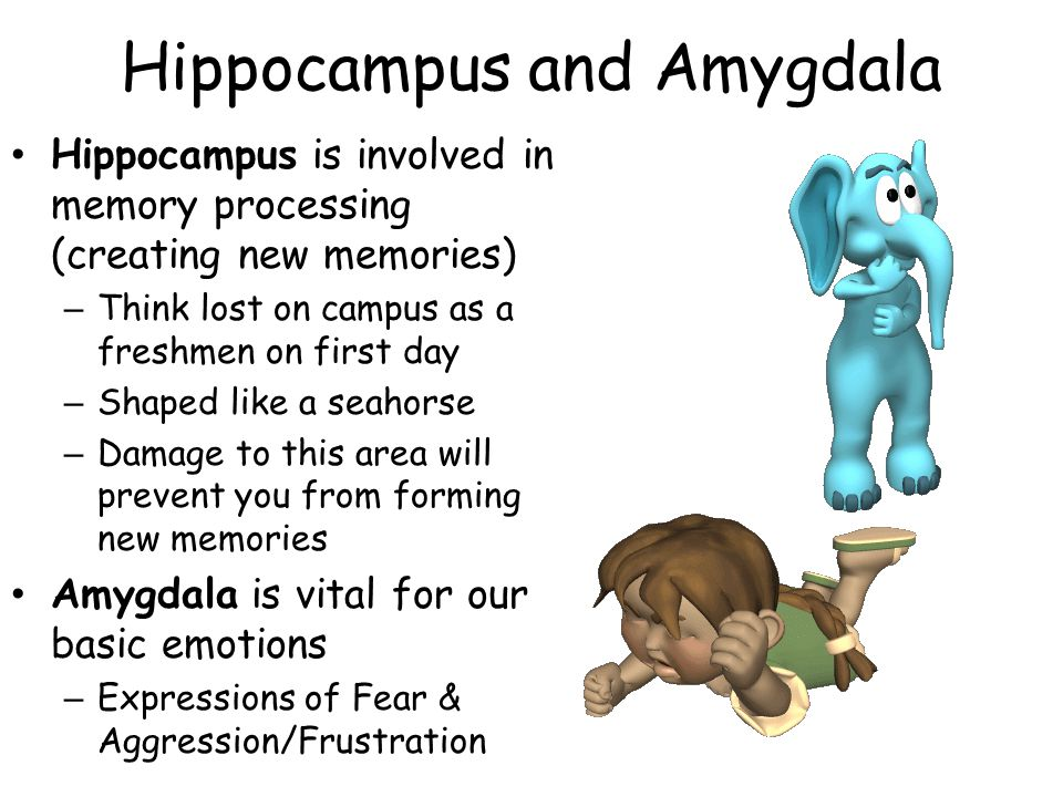 Hippocampus and Amygdala Hippocampus is involved in memory processing (creating new memories) – Think lost on campus as a freshmen on first day – Shaped like a seahorse – Damage to this area will prevent you from forming new memories Amygdala is vital for our basic emotions – Expressions of Fear & Aggression/Frustration