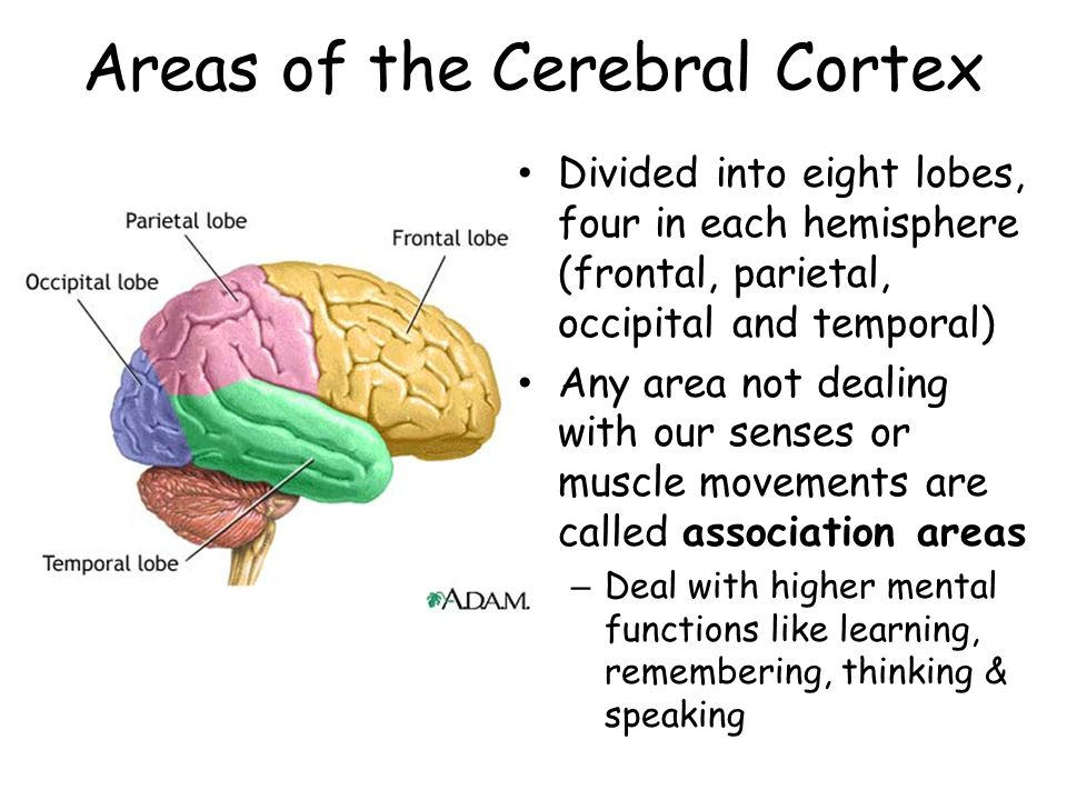 Areas of the Cerebral Cortex Divided into eight lobes, four in each hemisphere (frontal, parietal, occipital and temporal) Any area not dealing with our senses or muscle movements are called association areas – Deal with higher mental functions like learning, remembering, thinking & speaking