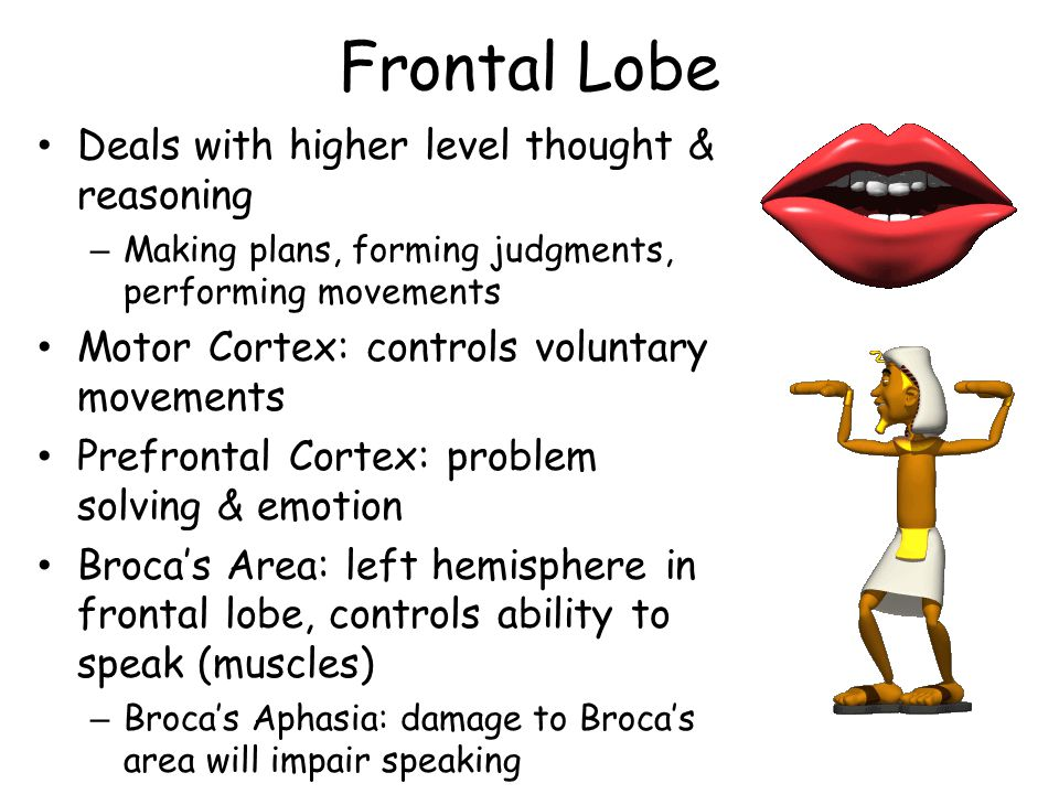 Frontal Lobe Deals with higher level thought & reasoning – Making plans, forming judgments, performing movements Motor Cortex: controls voluntary movements Prefrontal Cortex: problem solving & emotion Brocas Area: left hemisphere in frontal lobe, controls ability to speak (muscles) – Brocas Aphasia: damage to Brocas area will impair speaking