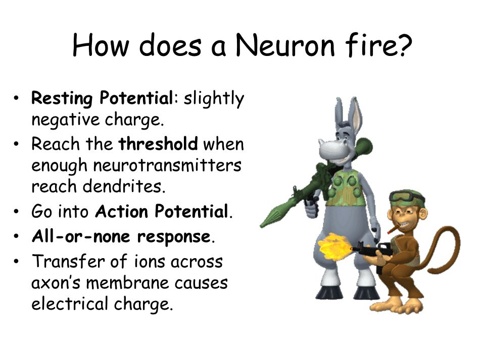 How does a Neuron fire.Resting Potential: slightly negative charge.