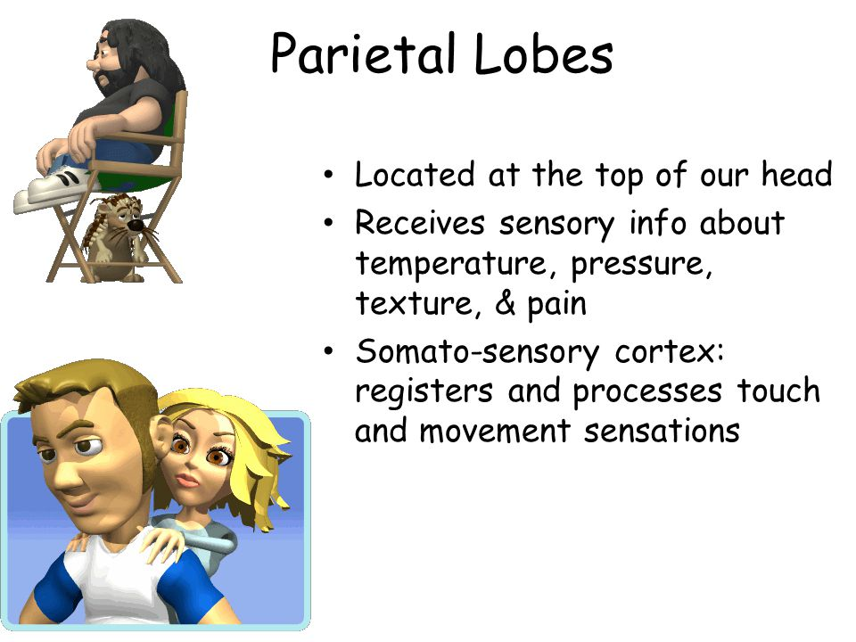 Parietal Lobes Located at the top of our head Receives sensory info about temperature, pressure, texture, & pain Somato-sensory cortex: registers and processes touch and movement sensations