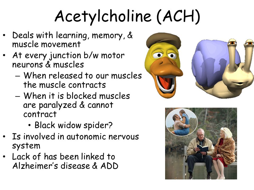 Acetylcholine (ACH) Deals with learning, memory, & muscle movement At every junction b/w motor neurons & muscles – When released to our muscles the muscle contracts – When it is blocked muscles are paralyzed & cannot contract Black widow spider.