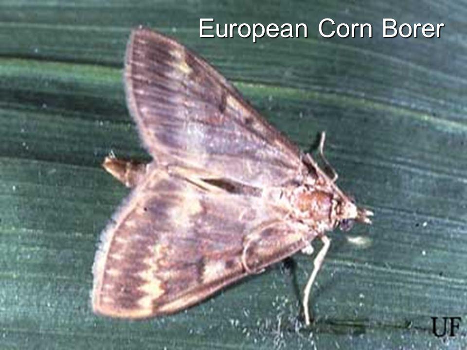 European Corn Borer