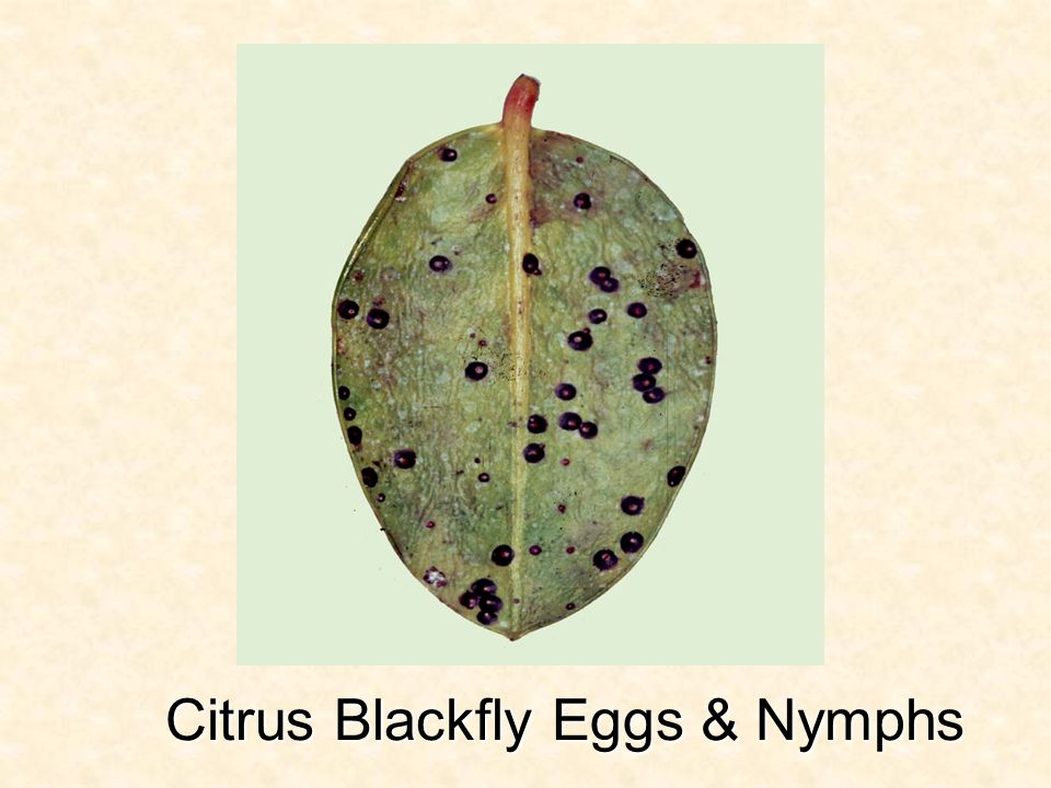 Citrus Blackfly Eggs & Nymphs