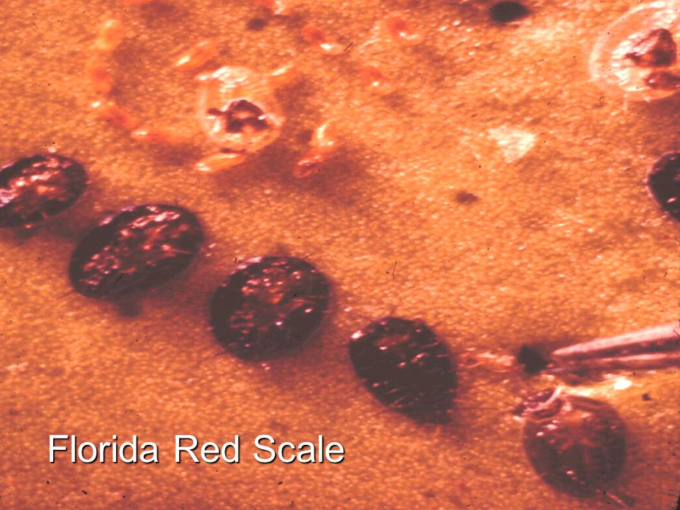 Florida Red Scale