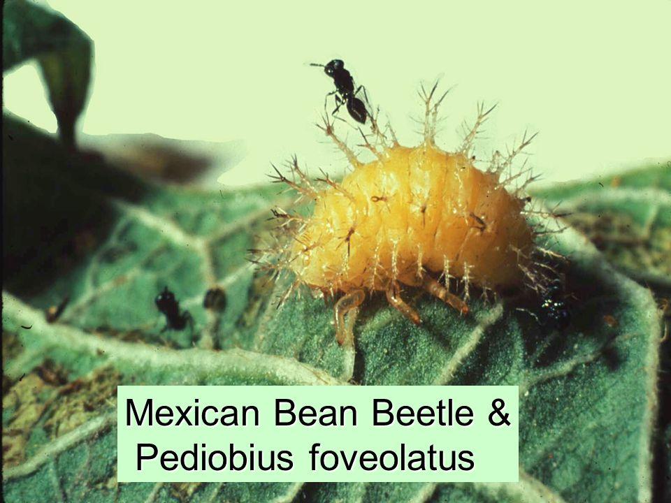 Mexican Bean Beetle & Pediobius foveolatus Pediobius foveolatus
