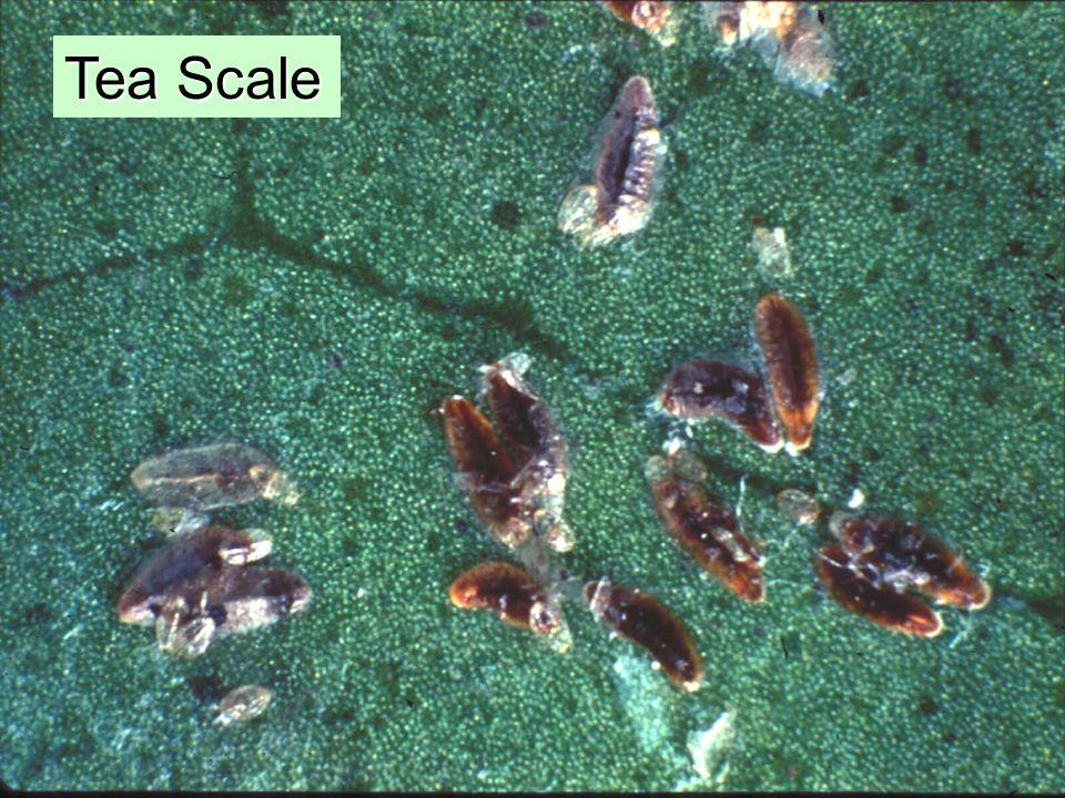 Tea Scale