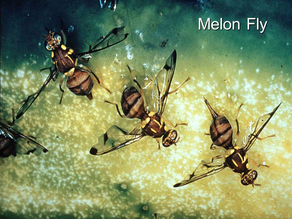 Melon Fly