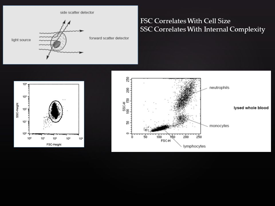 FSC Correlates With Cell Size SSC Correlates With Internal Complexity