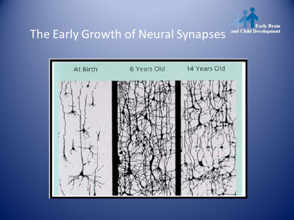 Early Brain and Child Development The Early Growth of Neural Synapses