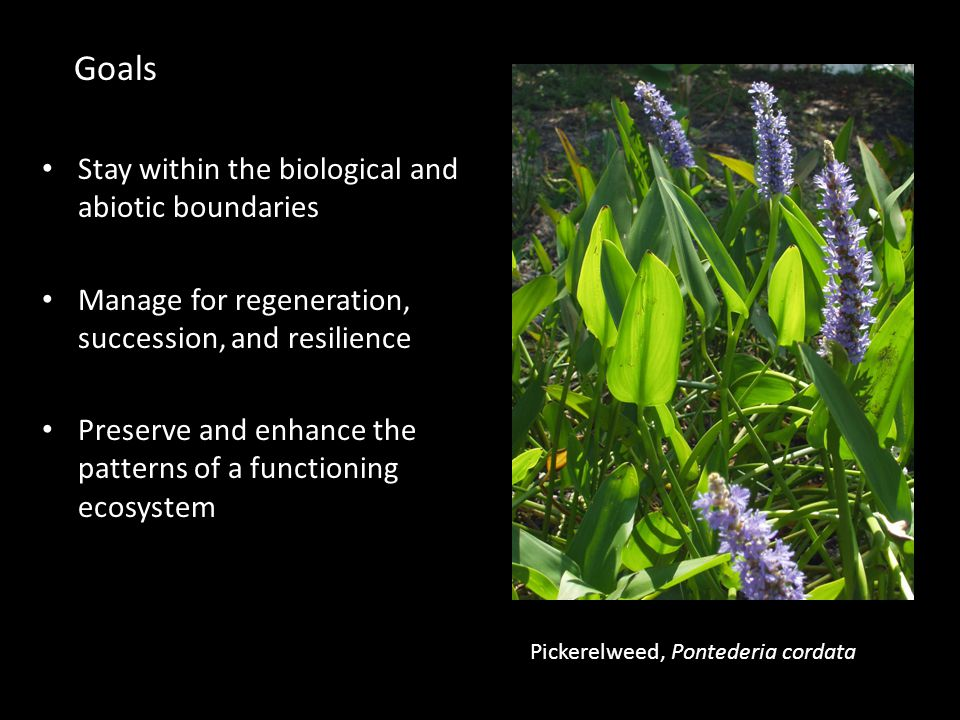 Stay within the biological and abiotic boundaries Manage for regeneration, succession, and resilience Preserve and enhance the patterns of a functioning ecosystem Pickerelweed, Pontederia cordata Goals