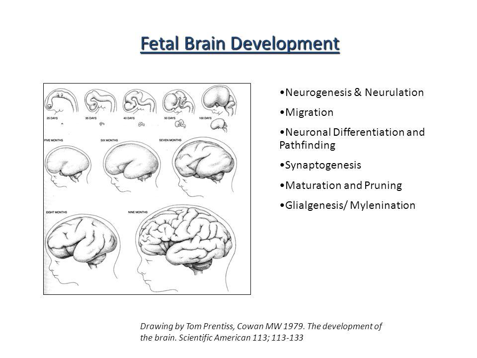 Neurogenesis & Neurulation Migration Neuronal Differentiation and Pathfinding Synaptogenesis Maturation and Pruning Glialgenesis/ Mylenination Fetal Brain Development Drawing by Tom Prentiss, Cowan MW 1979.