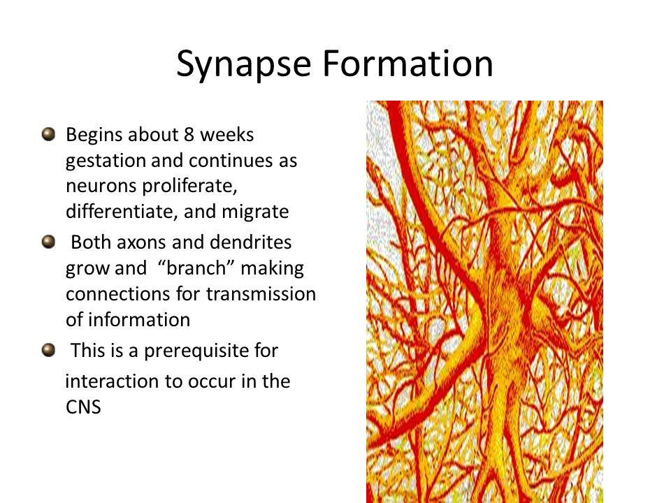 Synapse Formation Begins about 8 weeks gestation and continues as neurons proliferate, differentiate, and migrate Both axons and dendrites grow and branch making connections for transmission of information This is a prerequisite for interaction to occur in the CNS
