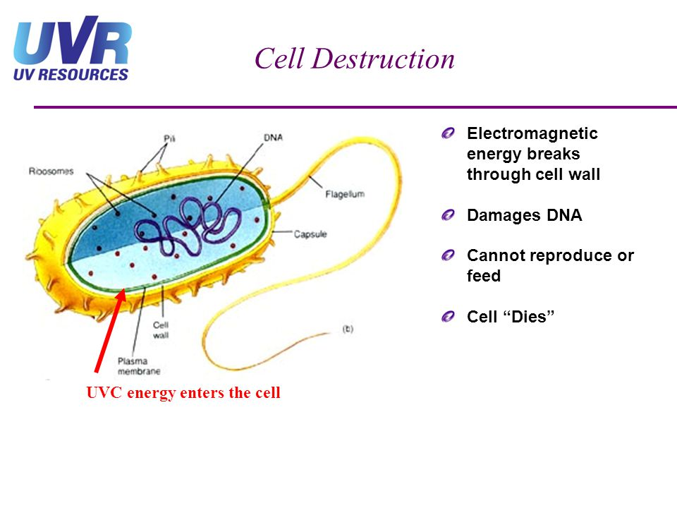Cell Destruction Electromagnetic energy breaks through cell wall Damages DNA Cannot reproduce or feed Cell Dies UVC energy enters the cell