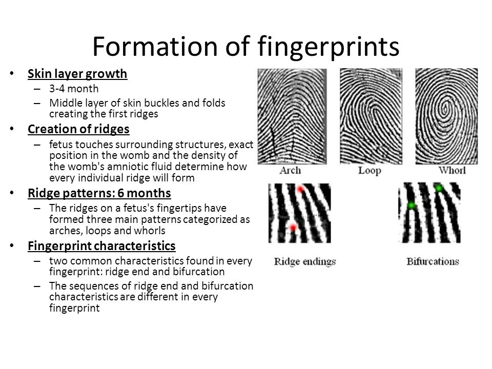 What determines fingerprints? DNA - Genes & environmental forces: pressures within the womb and contact with the amniotic fluid
