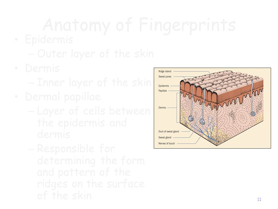Formation of fingerprints Skin layer growth – 3-4 month – Middle layer of skin buckles and folds creating the first ridges Creation of ridges – fetus