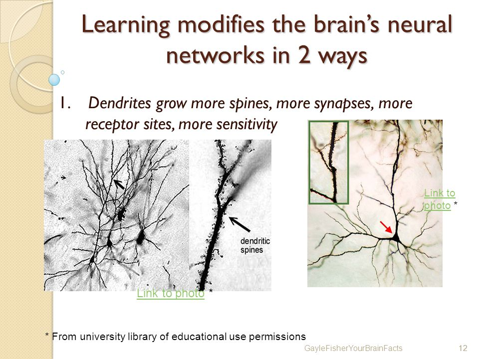 GayleFisherYourBrainFacts12 Learning modifies the brains neural networks in 2 ways 1.