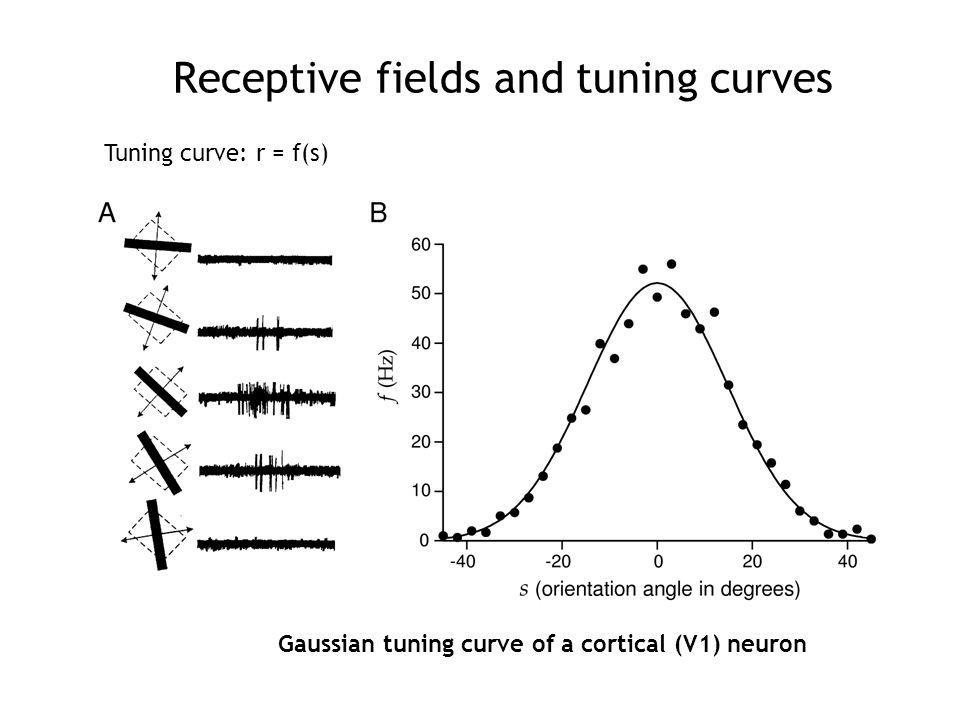 Receptive fields and tuning curves Tuning curve: r = f(s) Gaussian tuning curve of a cortical (V1) neuron