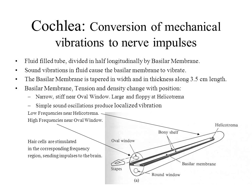 Hearing anatomy & function Outer Ear: Sound Collection Middle Ear: Mechanical Transducer Inner Ear (Cochlea): –Frequency to position (fourier analysis) –Mechanical vibration to nerve impulse Auditory Nerve, Brain, Mind –Pitch & Timbre Sensation –Right-Left synthesis –Sound Identification (danger, music, speech) focus on cochlear