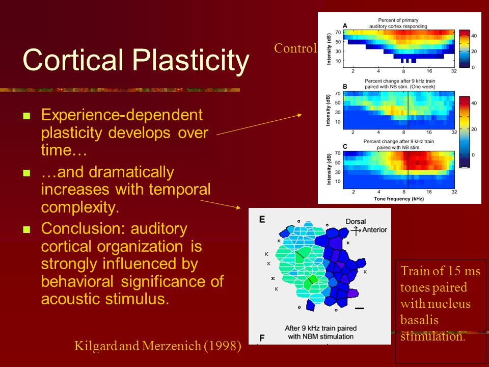 Cortical Plasticity Experience-dependent plasticity develops over time… …and dramatically increases with temporal complexity.