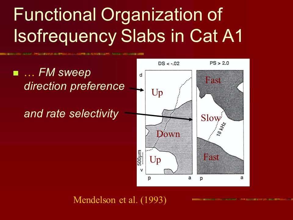 Functional Organization of Isofrequency Slabs in Cat A1 … FM sweep direction preference and rate selectivity Up Down Fast Slow Up Fast Mendelson et al.